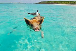 Schweine auf den Bahamas - Gute Zeit
